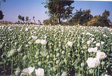 Poppys in the fields of Mexico